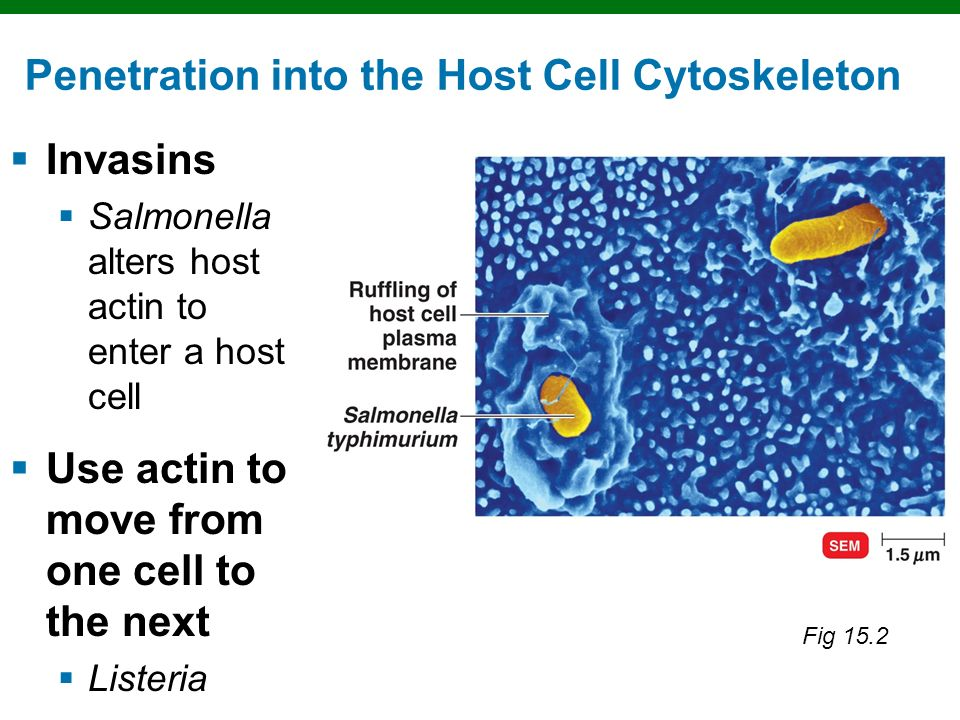 Penetration into the Host Cell Cytoskeleton
