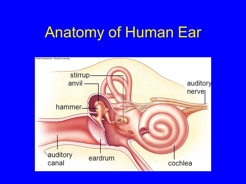 Anatomy of Human Ear stirrup anvil auditory nerve hammer