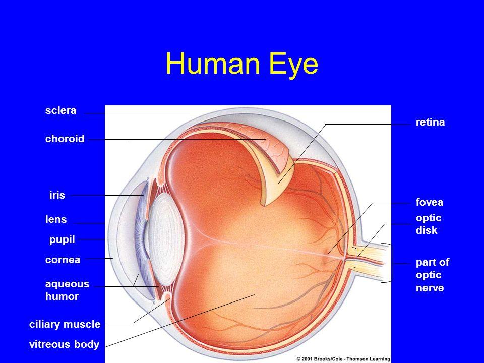 Human Eye sclera retina choroid iris fovea optic lens disk pupil