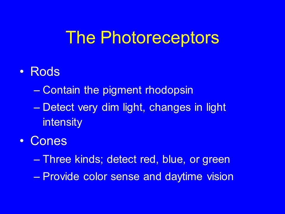 The Photoreceptors Rods Cones Contain the pigment rhodopsin