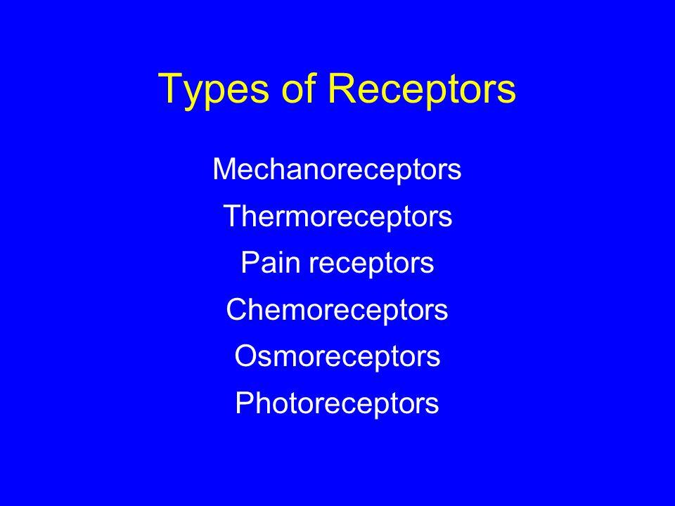 Types of Receptors Mechanoreceptors Thermoreceptors Pain receptors