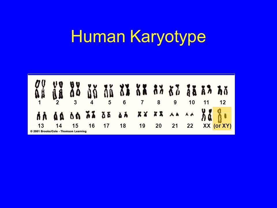 Human Karyotype 1 2 3 4 5 6 7 8 9 10 11 12.