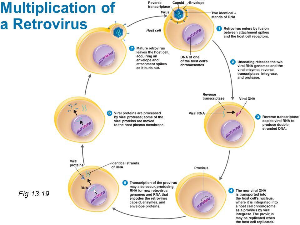 Multiplication of a Retrovirus