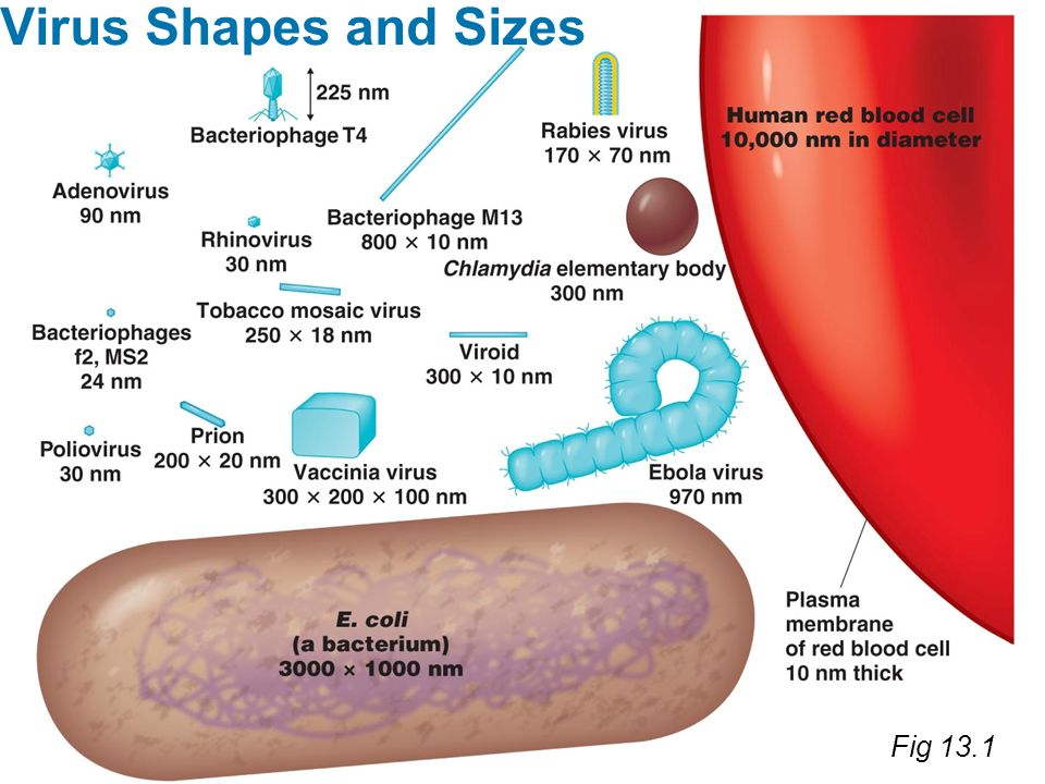 Virus Shapes and Sizes Fig 13.1