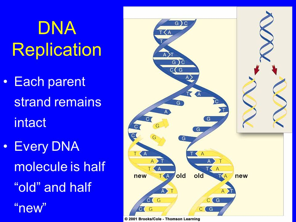 DNA Replication Each parent strand remains intact