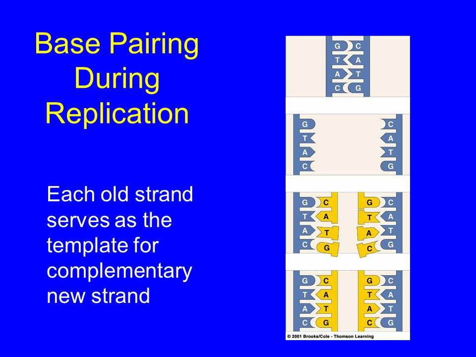 Base Pairing During Replication
