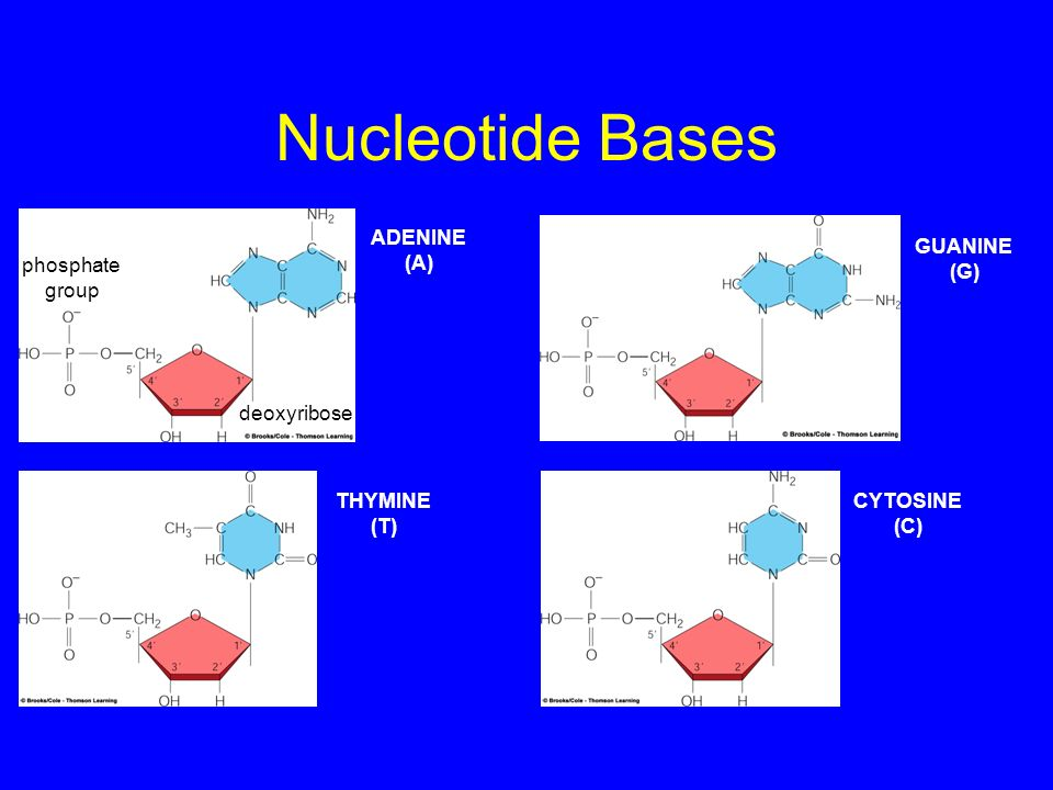 Nucleotide Bases ADENINE (A) GUANINE (G) phosphate group deoxyribose