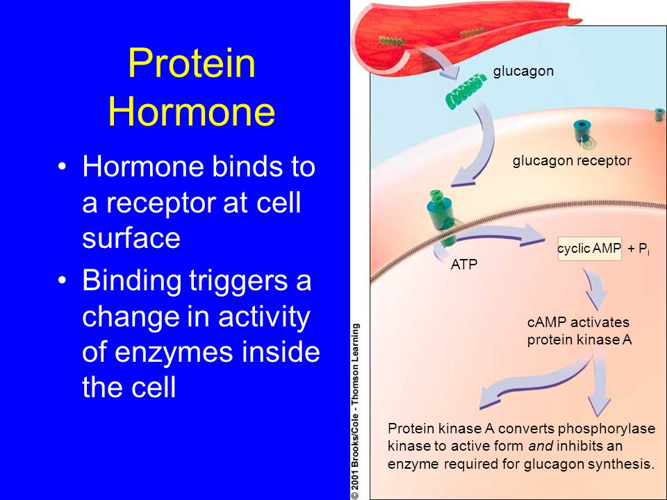 Protein Hormone Hormone binds to a receptor at cell surface