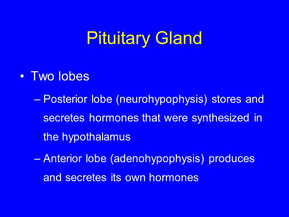 Pituitary Gland Two lobes