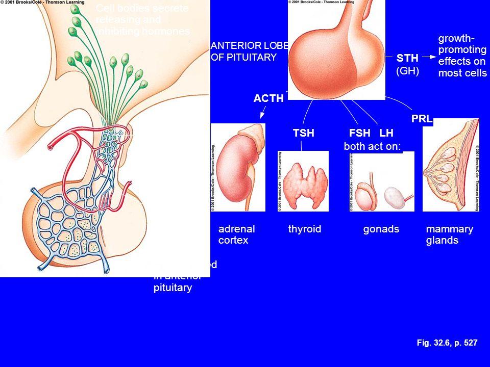 Cell bodies secrete releasing and inhibiting hormones