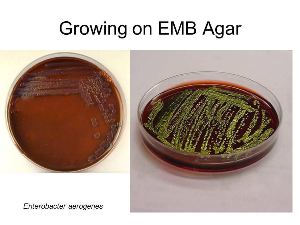 Growing on EMB Agar Enterobacter aerogenes