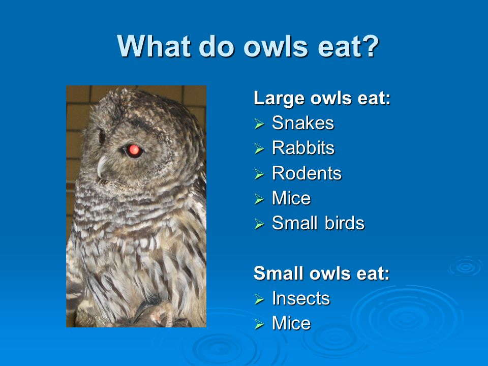 What do owls eat Large owls eat: Snakes Rabbits Rodents Mice