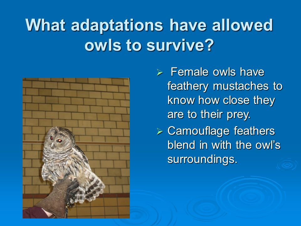 What adaptations have allowed owls to survive