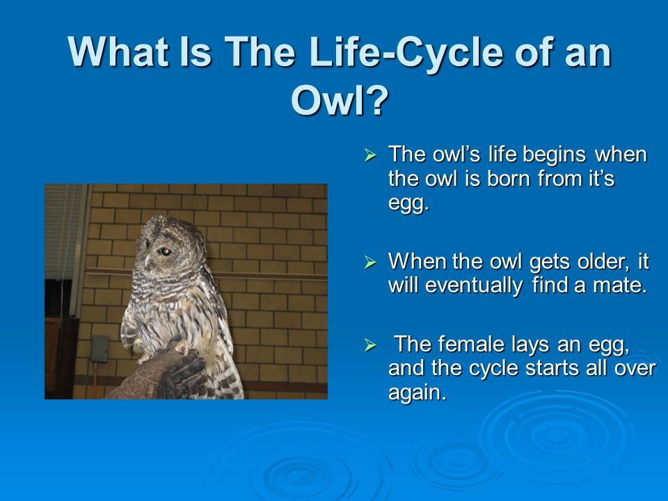 What Is The Life-Cycle of an Owl