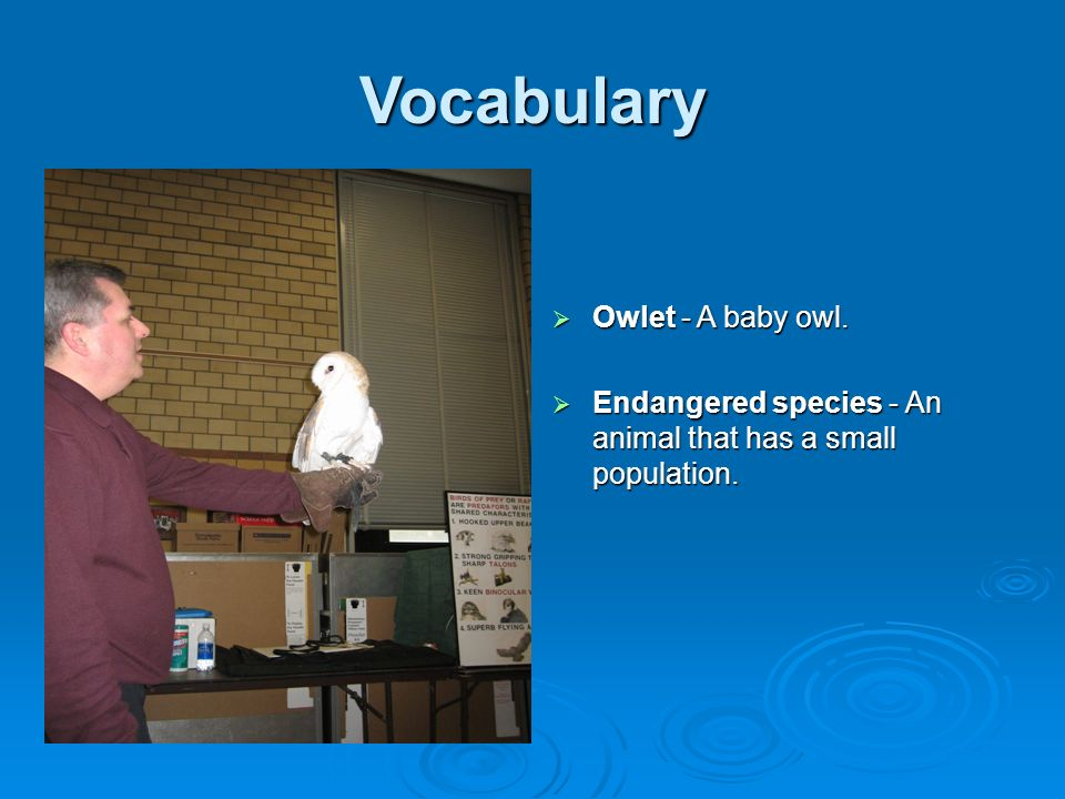 Vocabulary Owlet - A baby owl.