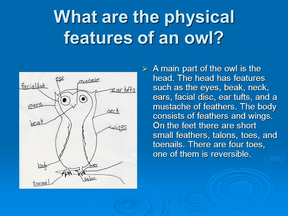 What are the physical features of an owl