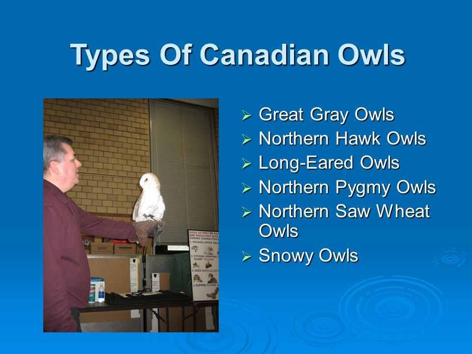 Types Of Canadian Owls Great Gray Owls Northern Hawk Owls
