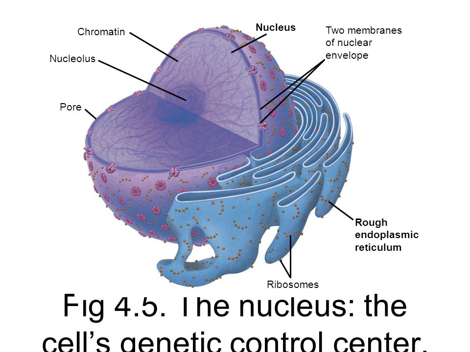 Fig 4.5. The nucleus: the cell's genetic control center.
