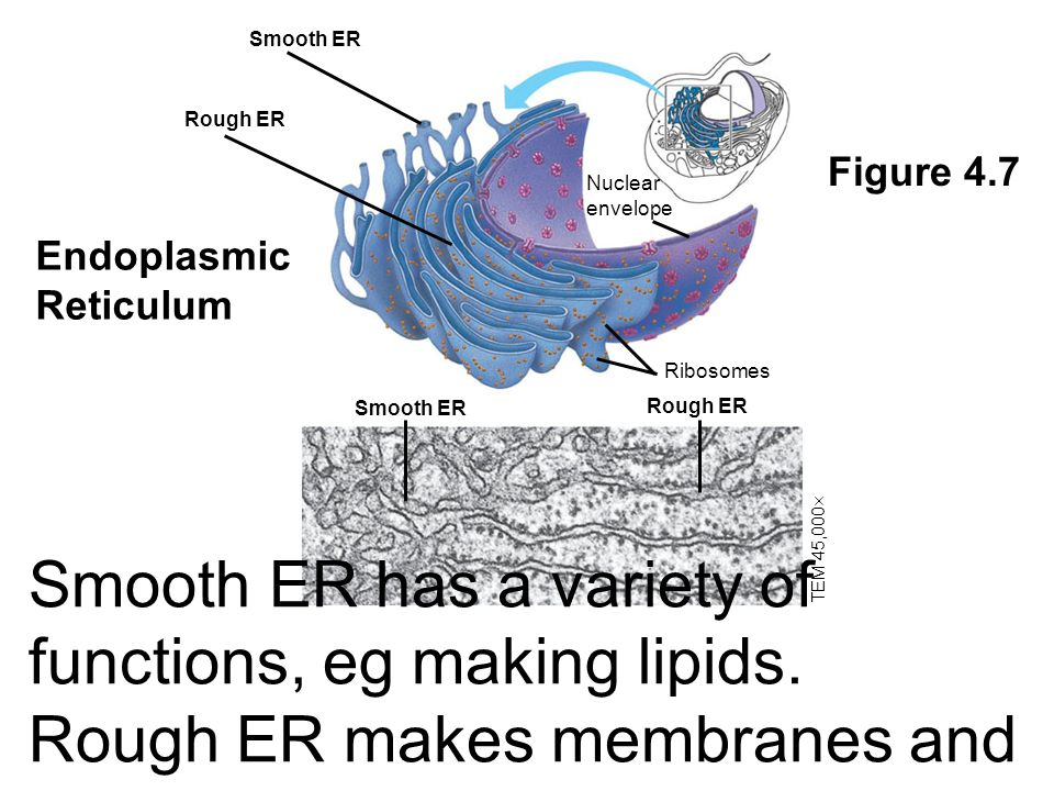 Smooth ER Rough ER. Nuclear envelope. Ribosomes. TEM 45,000 Figure 4.7. Endoplasmic Reticulum.