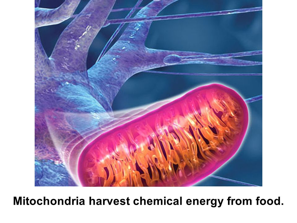 Mitochondria harvest chemical energy from food.