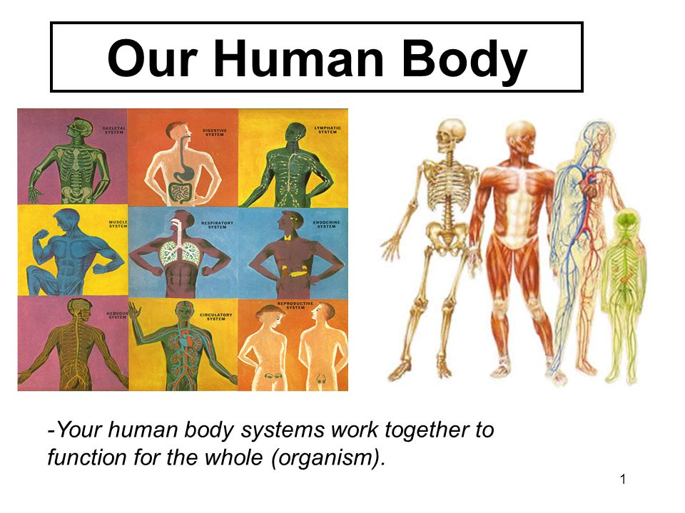 Our Human Body -Your human body systems work together to function for the whole (organism).