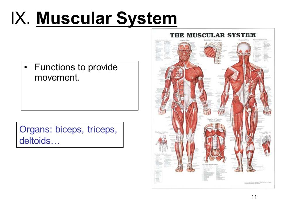 IX. Muscular System Functions to provide movement.