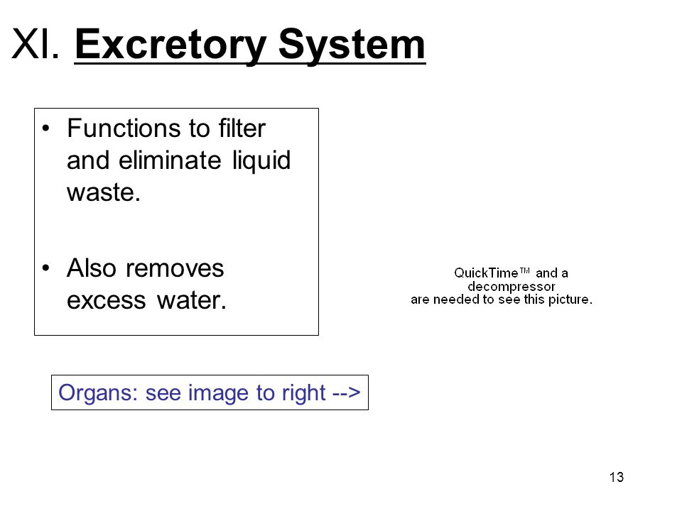 XI. Excretory System Functions to filter and eliminate liquid waste.