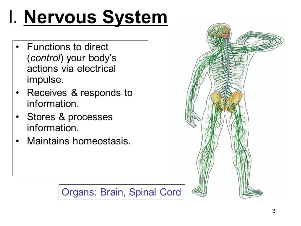 I. Nervous System Functions to direct (control) your body's actions via electrical impulse. Receives & responds to information.