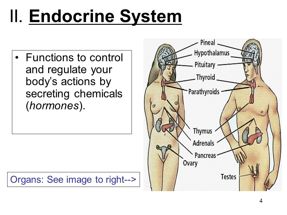 II. Endocrine System Functions to control and regulate your body's actions by secreting chemicals (hormones).