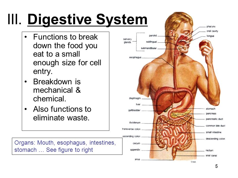 III. Digestive System Functions to break down the food you eat to a small enough size for cell entry.