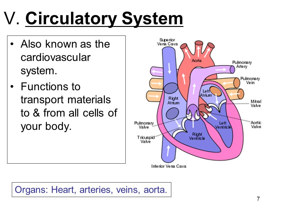 V. Circulatory System Also known as the cardiovascular system.