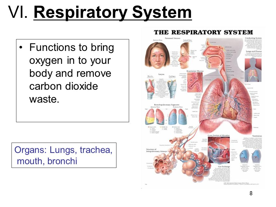 VI. Respiratory System Functions to bring oxygen in to your body and remove carbon dioxide waste. Organs: Lungs, trachea,