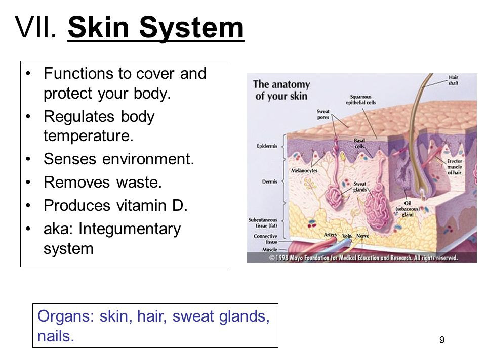 VII. Skin System Functions to cover and protect your body.