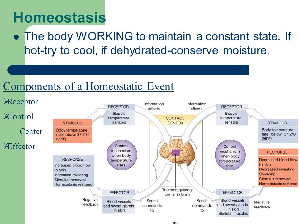 Homeostasis The body WORKING to maintain a constant state. If hot-try to cool, if dehydrated-conserve moisture.