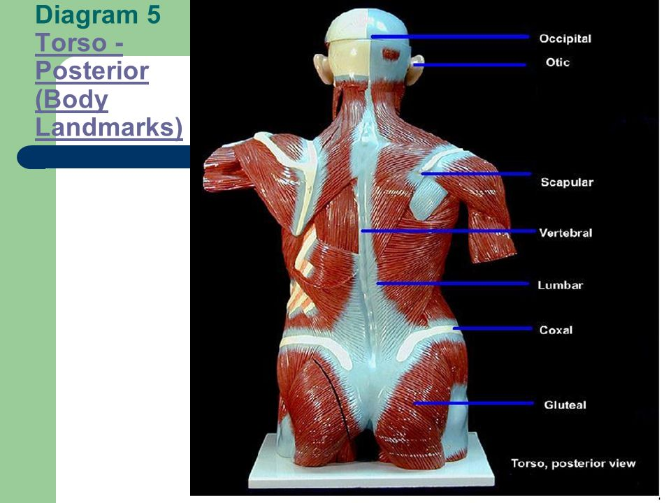 Diagram 5 Torso - Posterior (Body Landmarks)