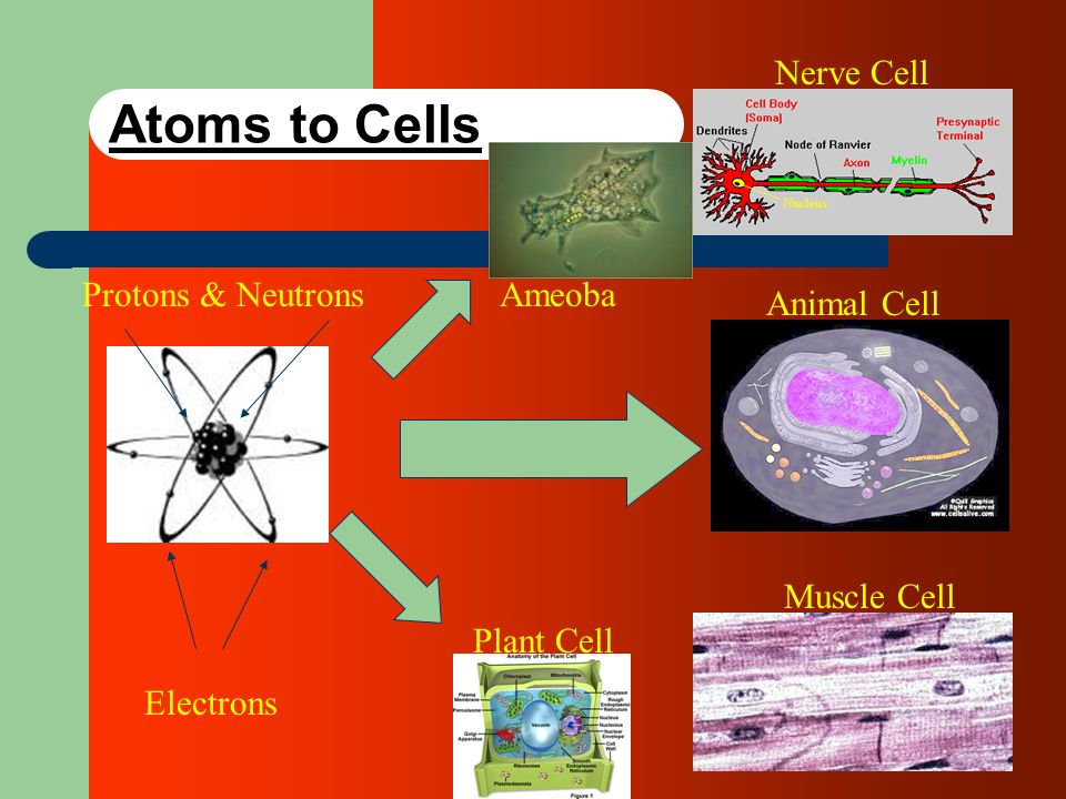 Atoms to Cells Nerve Cell Protons & Neutrons Ameoba Animal Cell