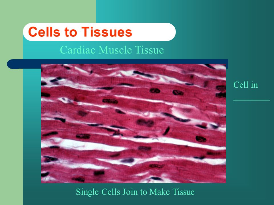 Cells to Tissues Cardiac Muscle Tissue Cell in ________