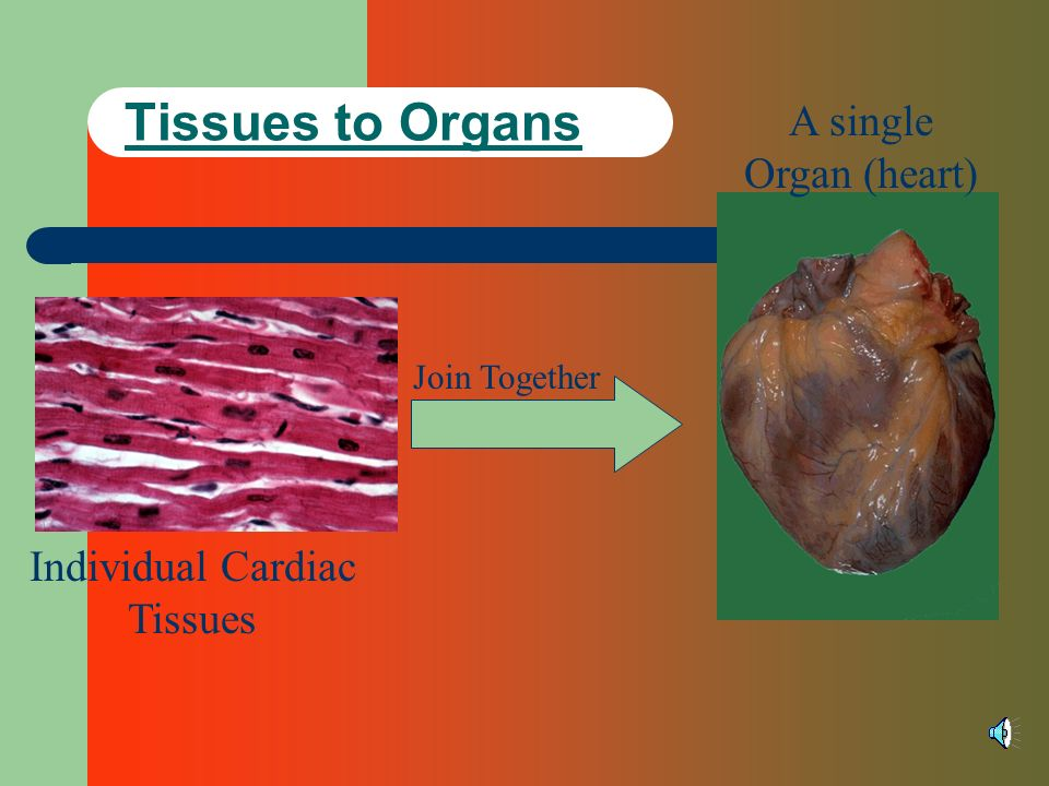Individual Cardiac Tissues