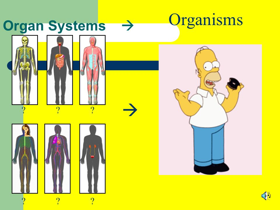 Organisms  Organ Systems 