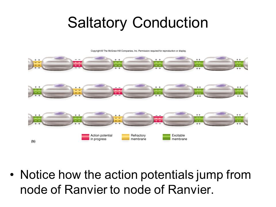 Saltatory Conduction Notice how the action potentials jump from node of Ranvier to node of Ranvier.