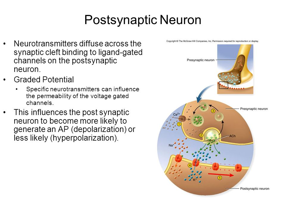 Postsynaptic Neuron Neurotransmitters diffuse across the synaptic cleft binding to ligand-gated channels on the postsynaptic neuron.