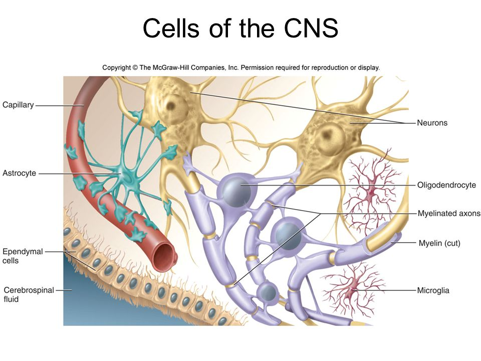 Cells of the CNS