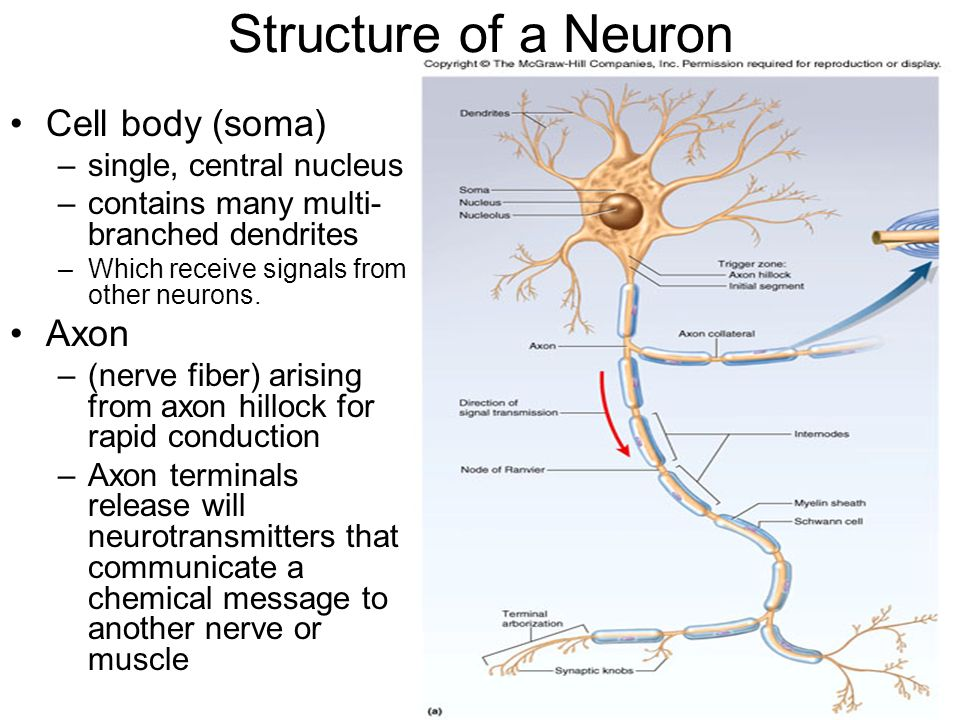 Structure of a Neuron Cell body (soma) Axon single, central nucleus