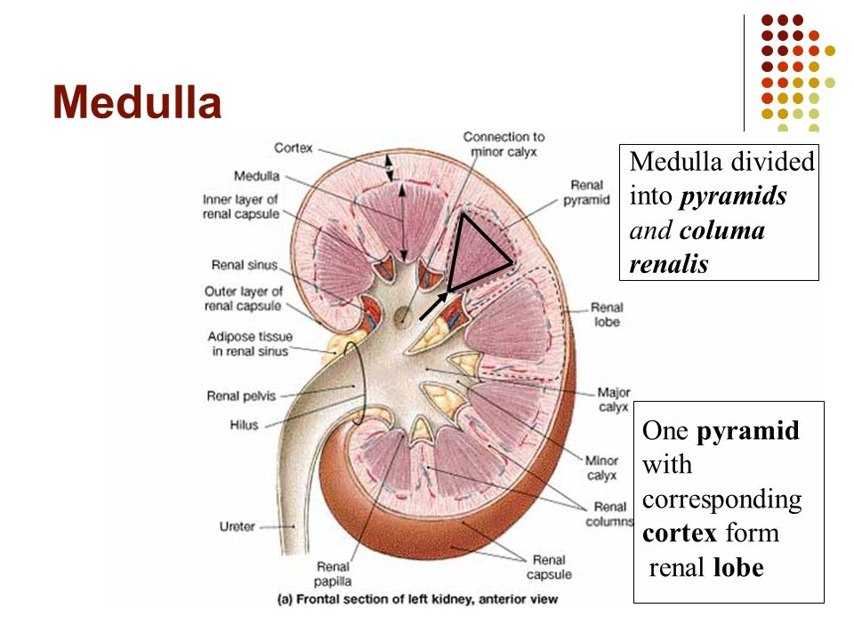 department of human anatomy - ppt video online download, Human Body