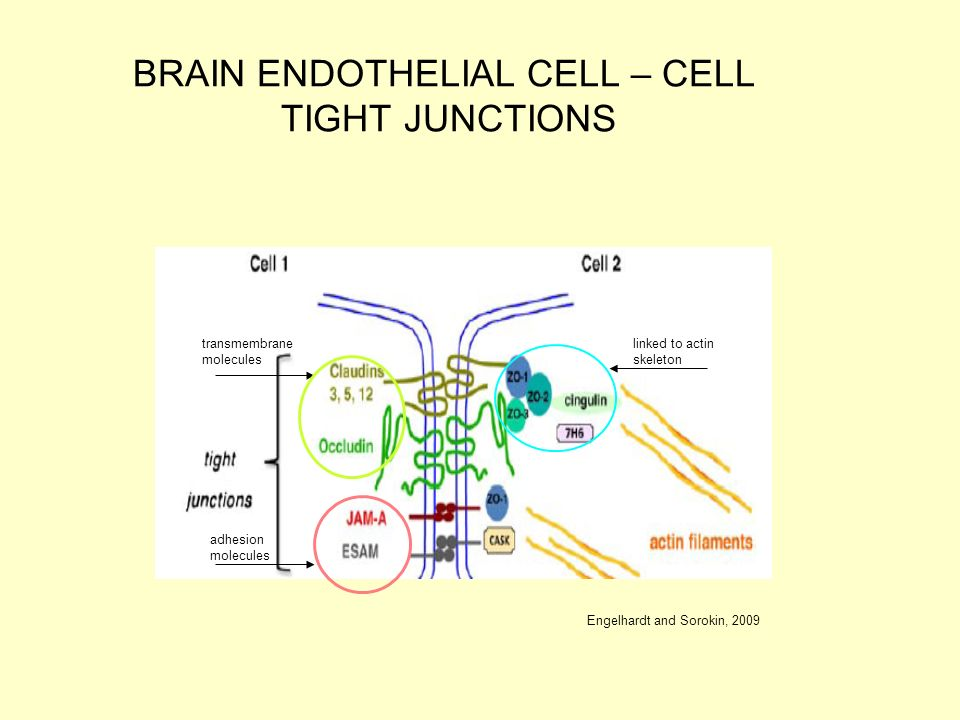 endothelial tight junction proteins essay Cellular junctions usually have tight junctions, adherens junctions, and focal adhesion junctions in the endothelium, two identical pecam-1s also form a junction and stabilize the major junctions in addition to barrier function, some junction proteins, such as connexins, form a junction between cells which functions as an ion or water.
