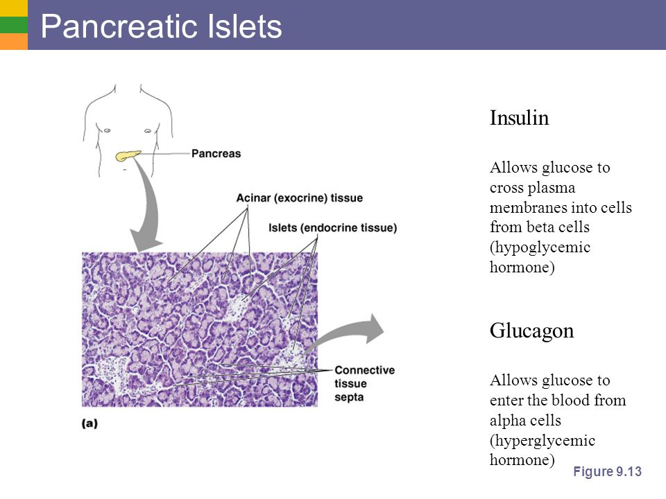pancreatic endocrine hormones glucagon and insulin work The glucagon-secreting alpha cells surround the insulin-secreting beta cells, which reflects the close relationship between the two hormones glucagon's role in the body is to prevent blood glucose levels dropping too low.