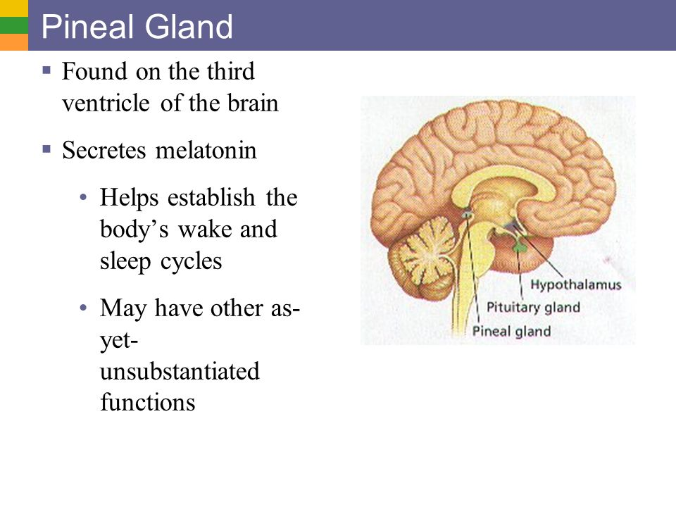 Modern Pineal Gland Functions Gift - Anatomy And Physiology Biology ...