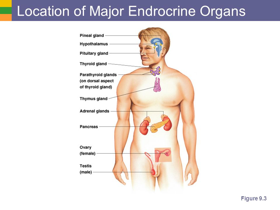 Endocrine System Role Of The Endocrine System Hormones Types Ppt