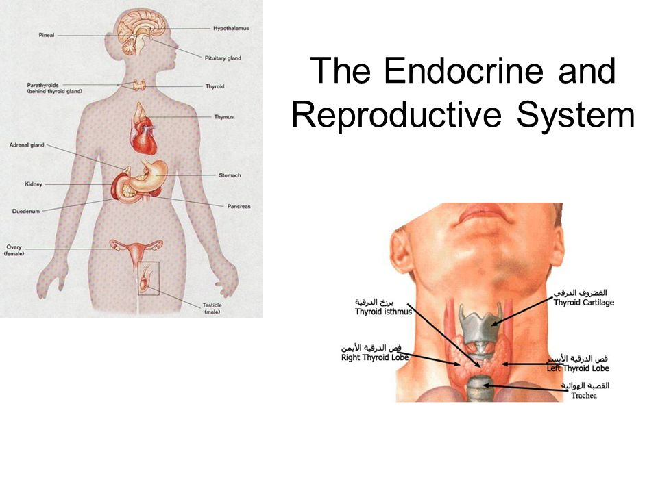 The Endocrine And Reproductive System Ppt Video Online Download