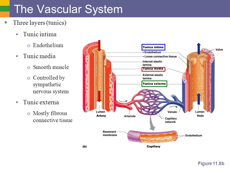 cardiovascular system blood vessels ppt video online